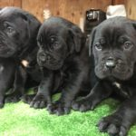 "News Puppyes, 32 days, Litter ""A"" Dei Marchesi Del Partenio Kennel (Aronne Dei Peligni X Barca) Available for sale"